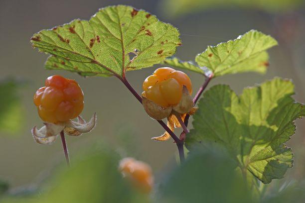 Hillaa kasvaa suoalueilla pääasiassa Suomen pohjoispuolella, Kokkolan korkeudelta ylöspäin.