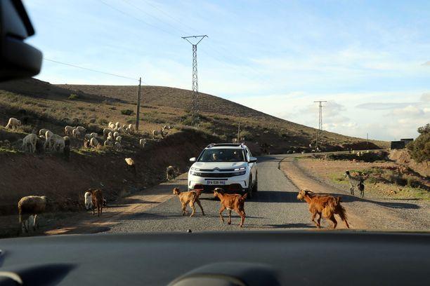 Jos ajat Marokossa, muista vapaasti laiduntavat eläimet tien reunoilla.