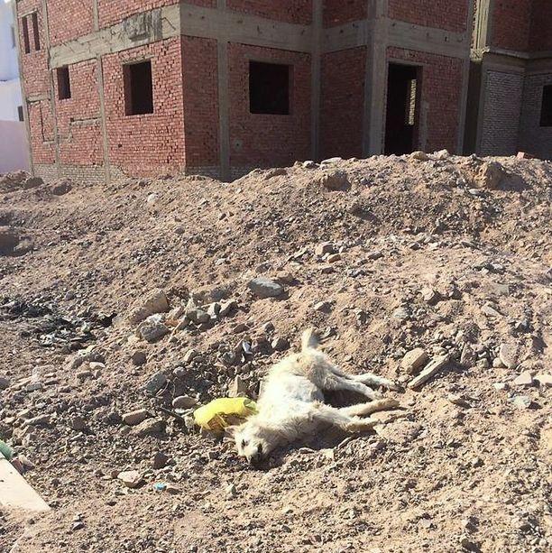 Vaikka kulkukoirat aiheuttavat ongelmia, suomalaismiehen mukaan paikalliset ja turistit ovat kauhuissaan siitä, että hallitus pitää myrkyttämistä ja kivuliasta kuolemaa ainoana ratkaisuna ongelmaan.  Gloria-koiran kohtalo surettaa.