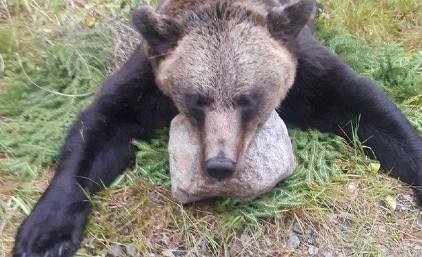 Lieksan Mustavaarassa sunnuntaina kaadettu 153-kiloinen aikuinen naaraskarhu.