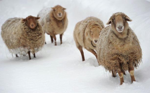Eläinlääkärin todistuksen mukaan lammas voi viikossa mennä huonoon kuntoon ja kuolla, jos ei saa ravintoa tai vettä. Kuvituskuva.