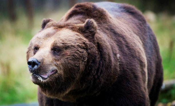 Jos näet Haminassa karhun - soita 112