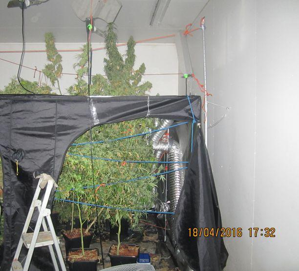 Ylöjärvellä paljastui muutama viikko takaperin kunnon yllätys, kun kasvattamohalliin pystytetyn teltan katto oli avattu ja sieltä pisti ulos puun mittoihin kasvanut hamppukasvi.