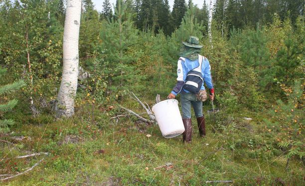 Thaimaasta Suomeen saapuvien marjanpoimijoiden määrä vähenee vuosi vuodelta.