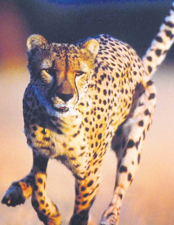 Gepardin huippunopeus on jopa 120 kilometriä tunnissa, joten saalis saa pistellä lujaa, jos mielii ehtiä karkuun.