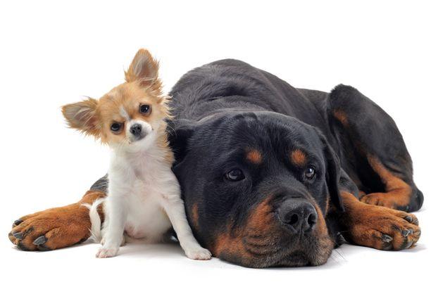 Chihuahua ja rottweiler eivät ole tutkimuksissa esillä kovin imartelevassa valossa.