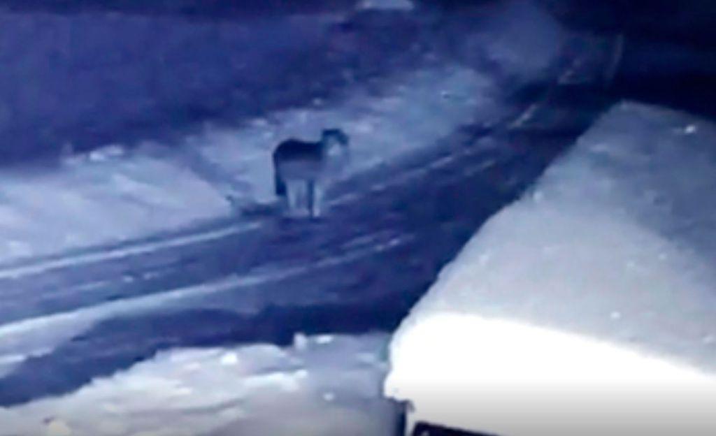 Naapuri soitti havainneensa jälkiä, ja Samin valvontakamera tallensi syyllisen videolle: Susihan se siinä!