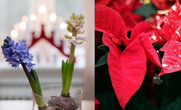 Hyasintit ja joulutähdet kuuluvat monen jouluun.