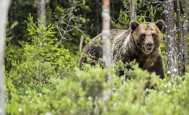 Ammuttu karhu jouduttiin lopettamaan.