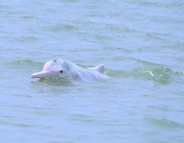 - Mistäköhän löytyisi seuraa, delfiini miettii. Kuvituskuva.