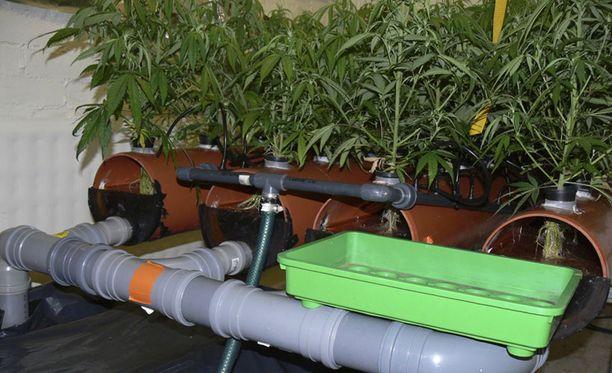 Poliisi iski yrityksen tiloihin ja löysi huomattavan määrän kannabiskasveja kahdesta eri paikasta.