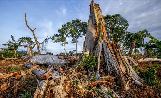 Arvioiden mukaan jopa 90 prosenttia Norsunluurannikon sademetsistä on tuhottu viime vuosikymmenten aikana, paljolti kaakaonviljelyn tuloksena.