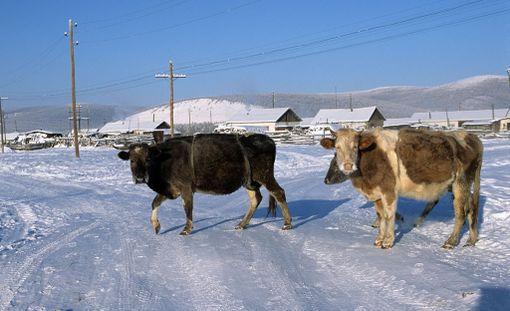 Maatalous on tärkeä elinkeino Oimjakonissa.