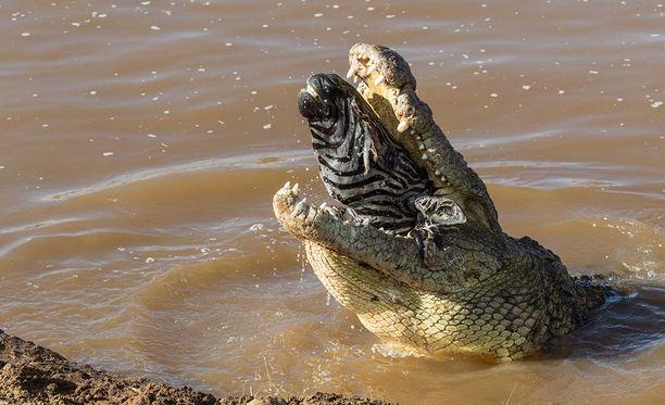 Kun pään murskaaminen ei onnistunut, krokotiili nielaisi seepran pään kokonaisena.