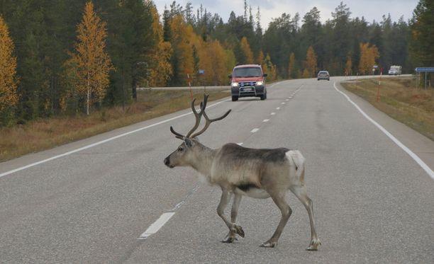 Poro maantiellä Rovaniemellä.