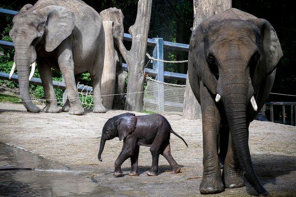 WWF työskentelee aktiivisesti norsujen suojelemiseksi ehkäisemällä salametsästystä ja norsunluukauppaa.