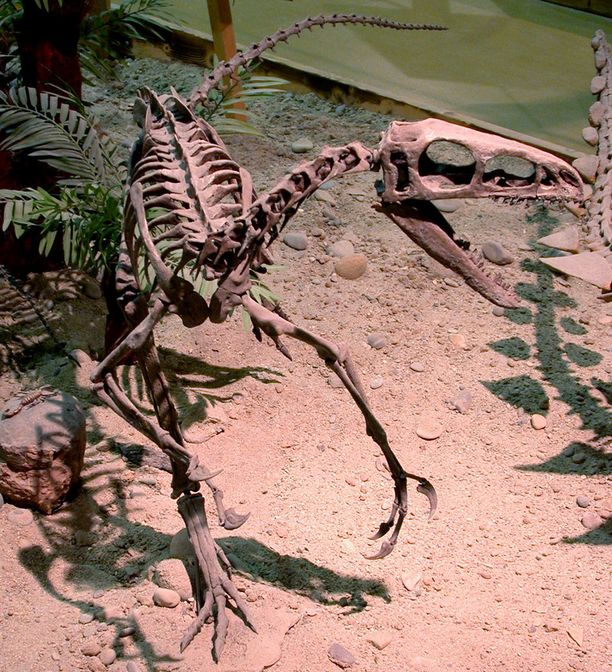 Rekonstruoitu coelurosauruksen luuranko Wyomingin dinosauruskeskuksessa.