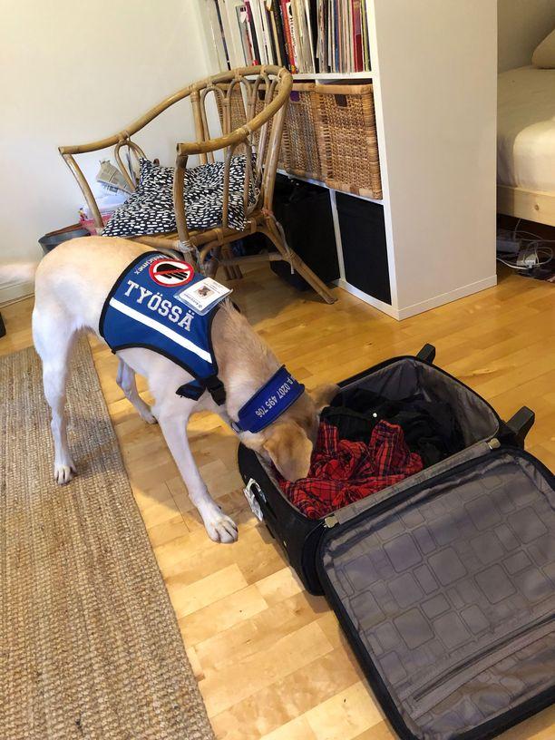 Ruu-koira jähmettyy patsasmaisesti aloilleen, kun on haistanut luteen. Koska Markuksen asunnosta ei löytynyt luteita, lopuksi käytettiin treenihajua tilanteen havainnoimiseksi sekä onnistumisen kokemukseksi koiralle.