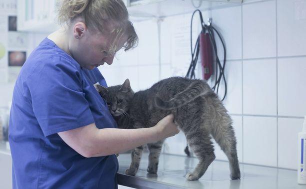 Miehen taloon tehtiin seitsemän eläinlääkärintarkastusta. Kuvituskuva, jossa eläinlääkäri tutkii leikattavaa kissaa.