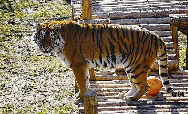 Eläintarha kertoo, että tiikeri toimi vaistojensa mukaisesti, eikä sille tule seurauksia hyökkäyksestä ihmisen kimppuun. Arkistokuva Typhoonista.