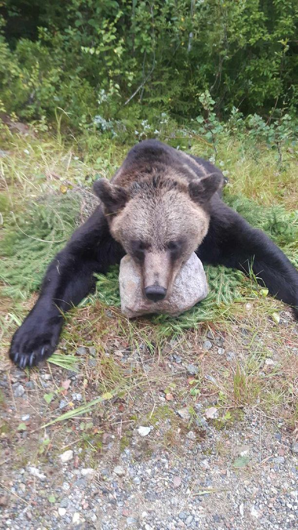 Matti Törrösen mukaan kauden ensimmäinen karhu kaadettiin Lieksan Mustavaarassa varhain sunnuntai-aamuna.