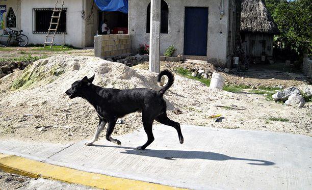 Evira kertoo tutkineensa vuoden 2018 aikana Venäjältä maahan tuoduista koirista rabieksen eli raivotaudin vasta-ainetasoja. Kuvituskuva.