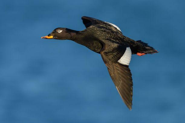 Pilkkasiipi on vähentynyt maailmanlaajuisesti. Säkylässä pelastettiin yksi lintu tuskaiselta kuolemalta. Kuvituskuva.