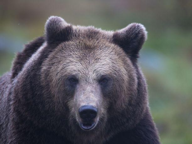 Karhua etsittiin keskiviikosta lähtien. Kuvan karhu ei liity tapaukseen.