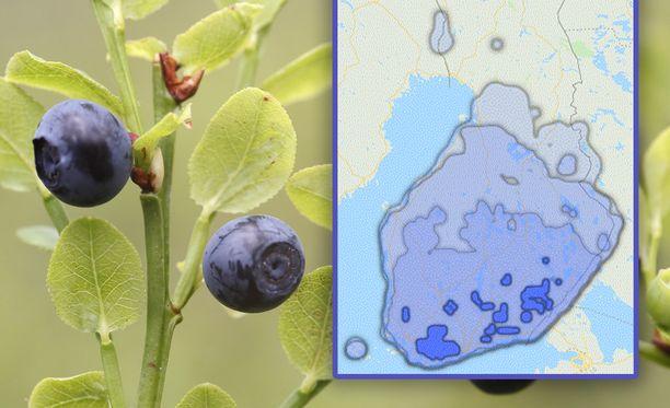 Kartasta voi tarkistaa, milloin mustikat kypsyvät ympäri Suomea.