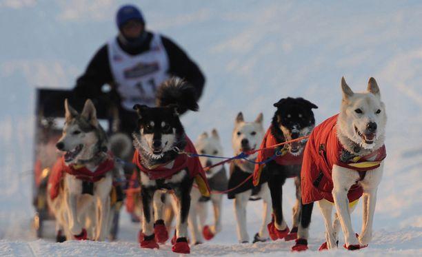 Iditarod-kisassa on nähty historian ensimmäinen dopingepäily. Kuvan koirat eivät liity tapaukseen.