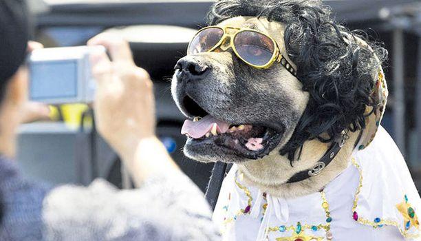 KUNNIANOSOITUS? Brutus-hauveli esiintyi rock'n rollin kuninkaana Kalifornian Orangen piirikunnassa järjestetyssä Elvis Fest -tapahtumassa.