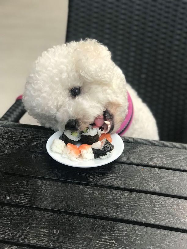 Alma rakastaa sushia ja voisi syödä sitä vaikka kuinka paljon. Koira saa kuitenkin herkutella sushilla vain kerran viikossa.