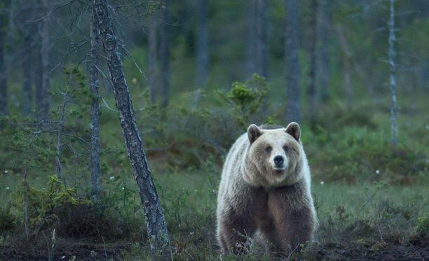 Karhu oli lähtenyt seuraamaan kahta lasta tiistaina iltapäivällä Mikkelissä. Kuvituskuva.