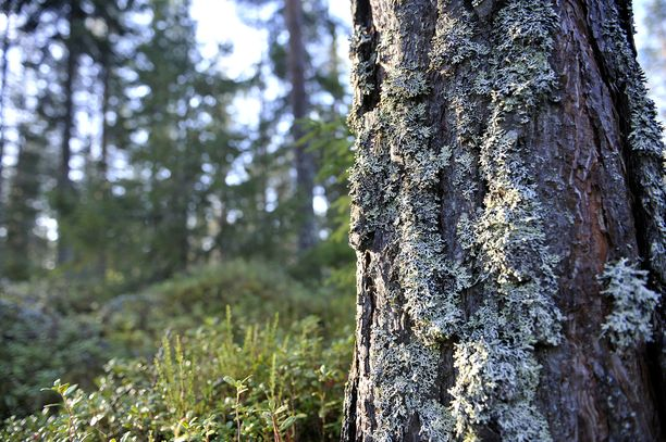 Lahjoitusvaroilla rauhoitettiin yli 130 hehtaaria suomalaista ikimetsää Utterinvuorella ja Tsiuttajoella. Kuvituskuva.