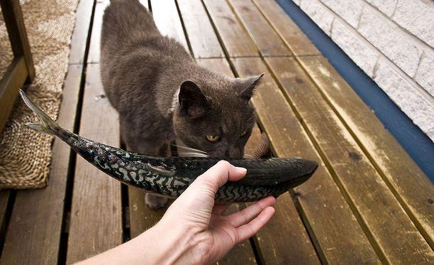 Kissa saa työpäivästä palkkioksi kalaa, sen herkkua.