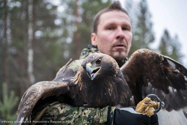 Vahva kotkanaaras painoi 5,5 kiloa. Jani Suua on rengastanut lukuisia kotkia.