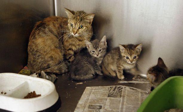 Loinen voi tarttua ihmiseen kissojen ulosteen tai huonosti kypsennetyn lihan kautta.