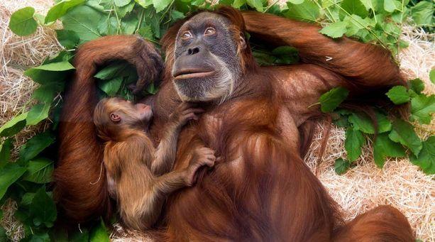 Aitauksestaan karannut oranki ammuttiin Duisburgissa. Kuvan orangit ovat elossa ja elelevät Dresdenin eläinpuistossa Saksassa.