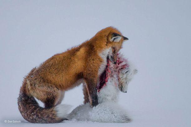 Nisäkkäät-sarjan voittaja, Vuoden luontokuvaaja -palkinto: Kahden ketun tarina. Kuvaaja: Don Gutoski, Kanada.
