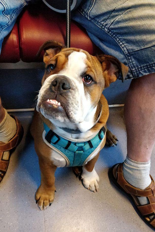 Viisi kuukautta vanha englanninbulldoggi Doge körötteli E-junalla Helsingistä Espoon puolelle. Omistaja kertoi, että Doge on jo kokenut matkustaja.