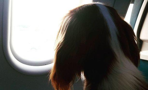 Pienen koiran saa joillakin lentoyhtiöillä ottaa mukaan koneen matkustamoon. Säännöt vaihtelevat yhtiöiden lisäksi myös maiden mukaan.