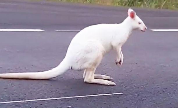 Kengurun nimi on lehtitietojen perusteella Willy Wonka.