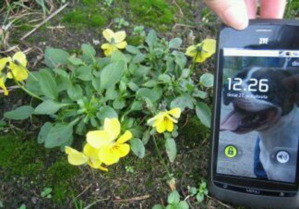 Lahdessa kukkii orvokit joulukuun lopulla.