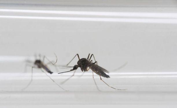 Zikavirus leviää muun muassa keltakuumehyttysten välityksellä.