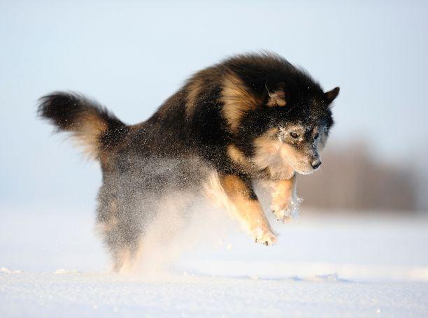 Suomenlapinkoira loikkasi toiseksi rekisteröidyimmäksi roduksi viime vuonna.