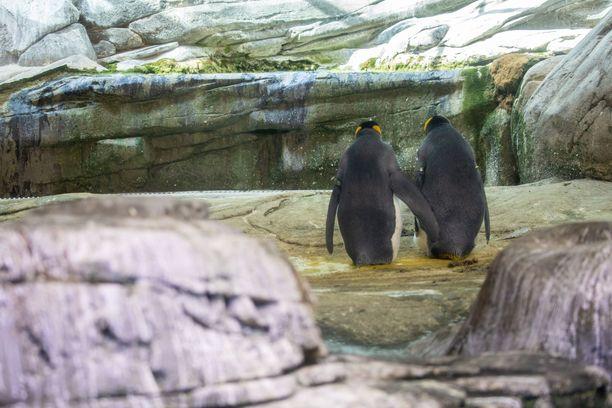 Pingviinit ymmärsivät heti, että heidän luokseen tuotua munaa piti hautoa.