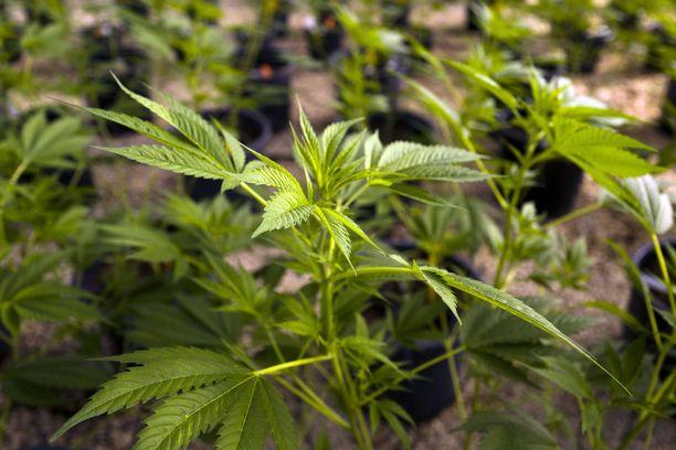 Saksan parlamentti laillisti kannabiksen lääkekäyttöön viime vuonna. Marihuanaa saa apteekeista asianmukaisella reseptillä.