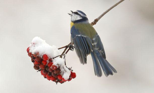 Ranskalaistutkimuksen mukaan maan lintukanta vähenee, koska niiden syömät hyönteiset ovat vähentyneet. Kuvassa sinitiainen pihlajassa Suomessa. Kuvituskuva