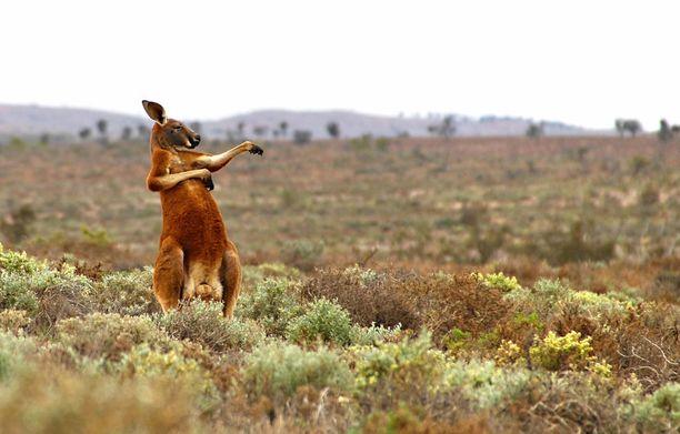 Andrey Giljov kuvasi kengurun Australiassa.
