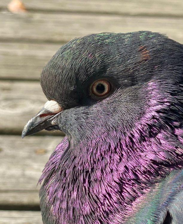 Nina Ignatiuksen mökin terassille ilmestyi lintu, jota alan harrastajatkin luulivat tavalliseksi puluksi. Kyyhky olikin omistajaltaan karannut Iranian High Flyer.